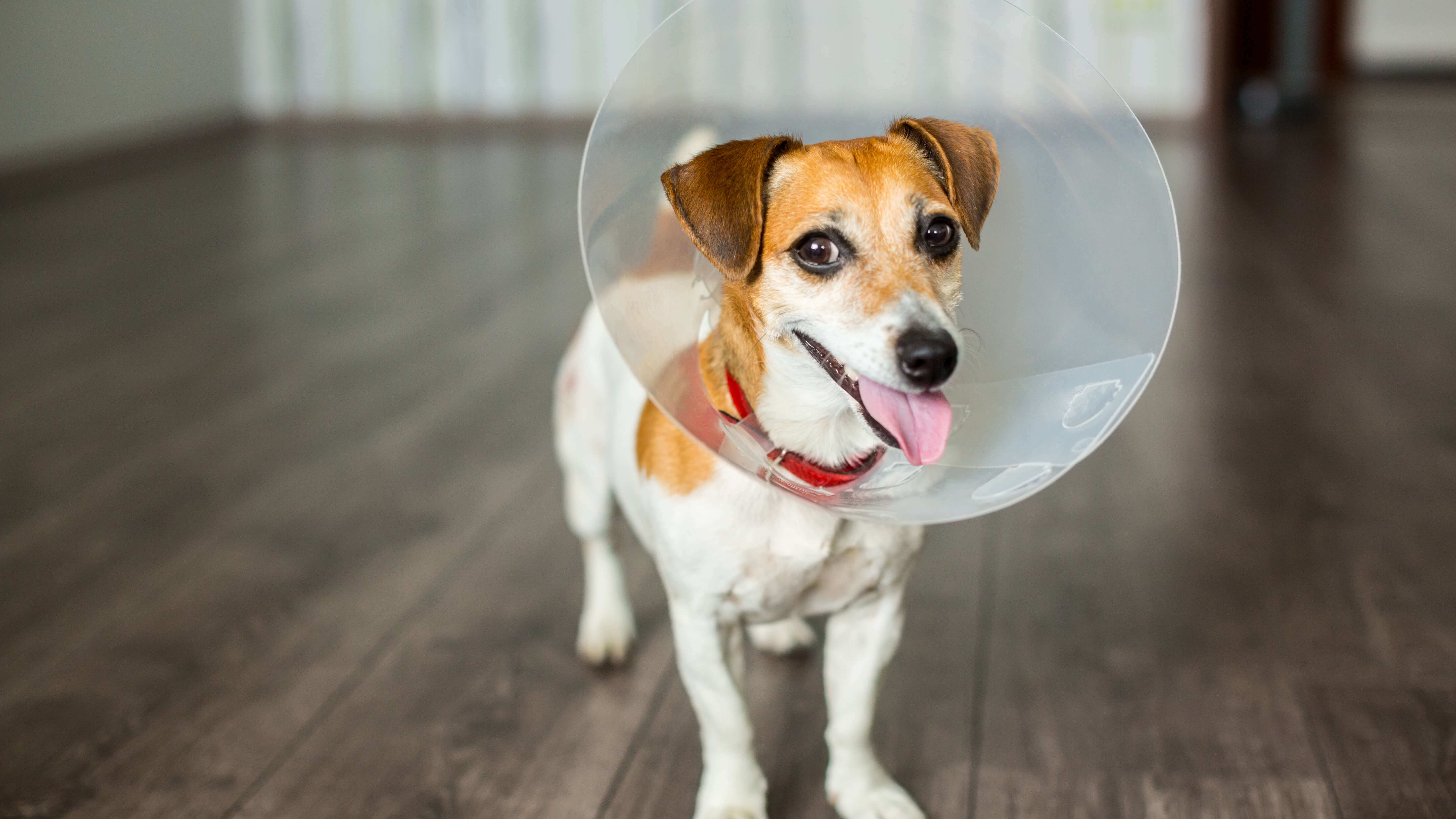 Should I Spay or Neuter My Dog? 5 Commonly Asked Questions